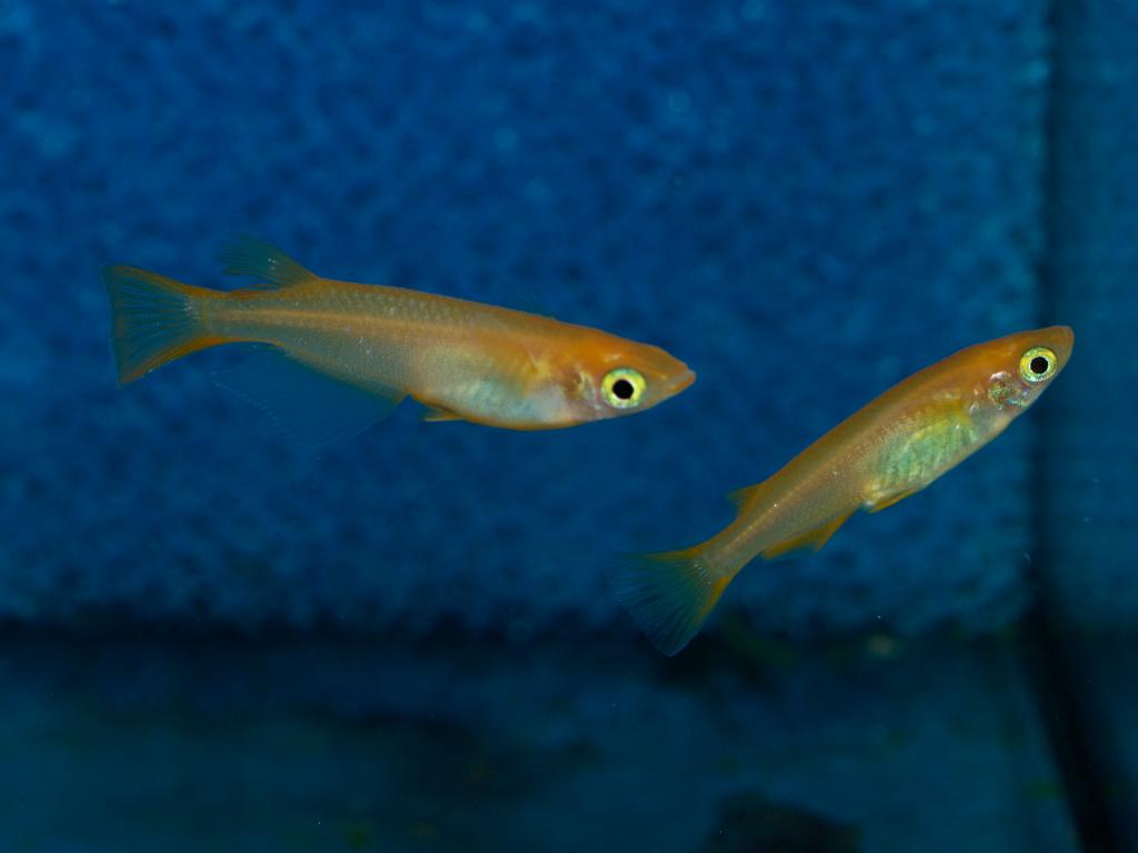 Medaka Männchen und Weibchen